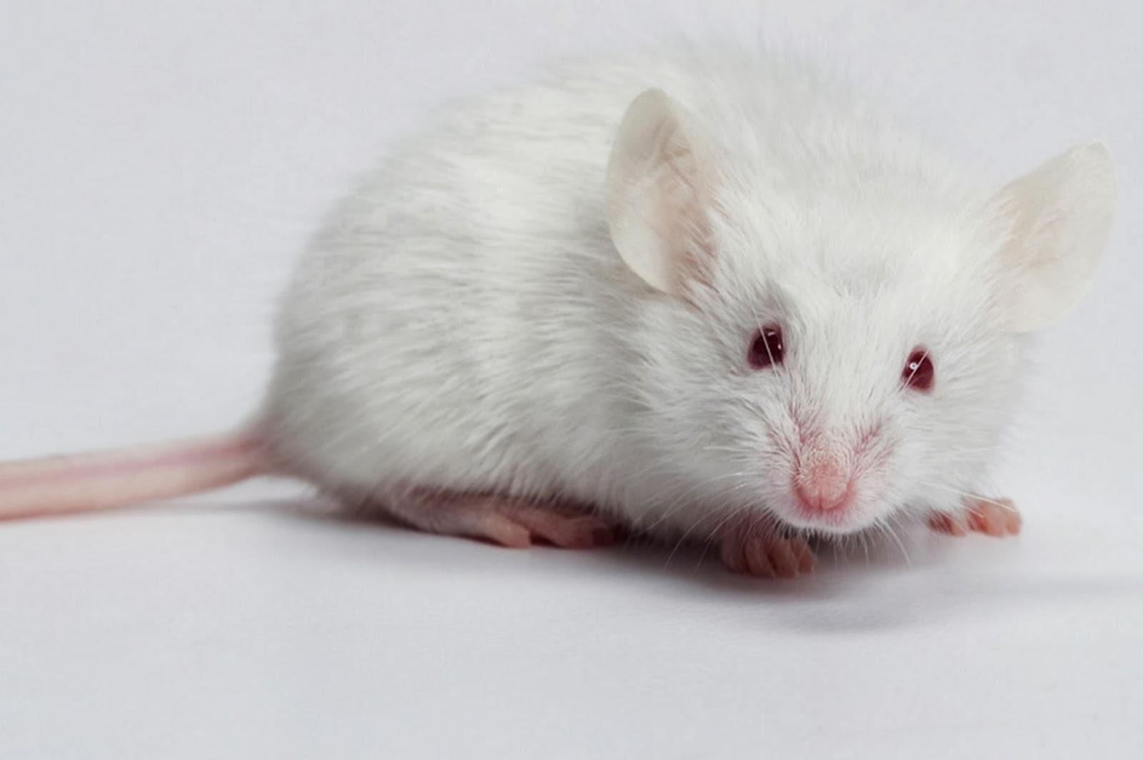mơ con chuột