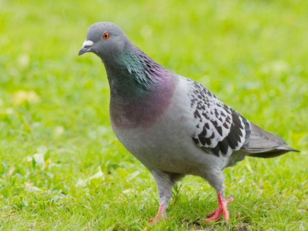 Mơ thấy chim bồ câu là điềm báo lành hay dữ?